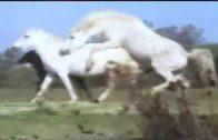 horses_mating_2