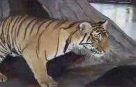 tiger_and_dog